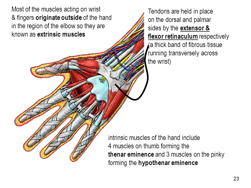 23 Most of the muscles acting on wrist & fingers originate outside of the hand in the region of the elbow so they are known as extrinsic muscles Tendo