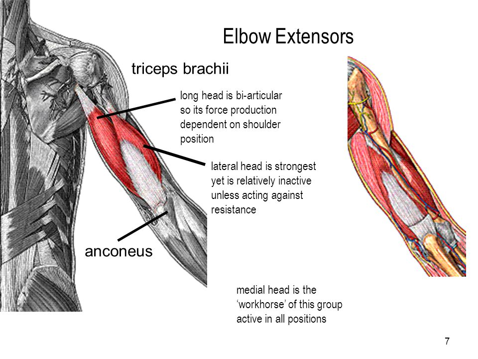 7 Elbow Extensors triceps brachii anconeus long head is bi-articular so its force production dependent on shoulder position medial head is the 'workho