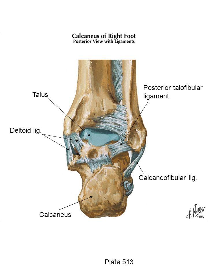Calcaneofibular lig. Calcaneus Talus Deltoid lig. Posterior talofibular ligament Plate 513