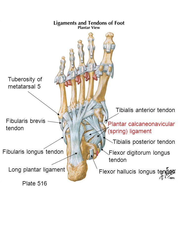 Plate 516 Flexor hallucis longus tendon Flexor digitorum longus tendon Tibialis posterior tendon Tibialis anterior tendon Plantar calcaneonavicular (s