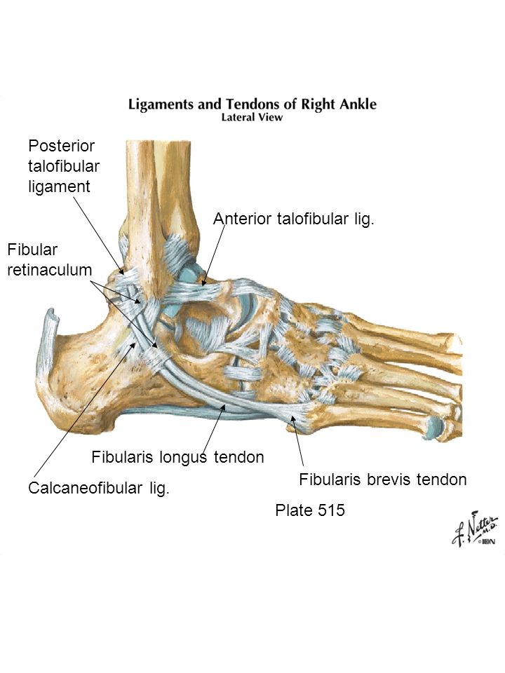 Plate 515 Fibularis brevis tendon Fibularis longus tendon Calcaneofibular lig. Anterior talofibular lig. Posterior talofibular ligament Fibular retina