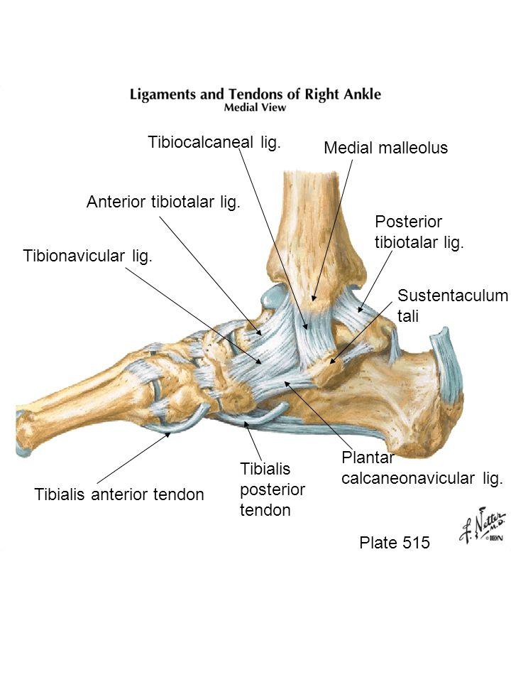 Plate 515 Posterior tibiotalar lig. Medial malleolus Tibiocalcaneal lig. Anterior tibiotalar lig. Tibionavicular lig. Tibialis anterior tendon Tibiali