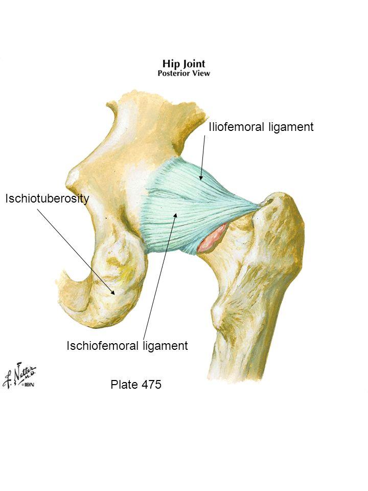 Plate 475 Iliofemoral ligament Ischiofemoral ligament Ischiotuberosity