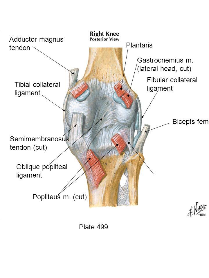 Plate 499 Popliteus m. (cut) Oblique popliteal ligament Semimembranosus tendon (cut) Tibial collateral ligament Fibular collateral ligament Adductor m