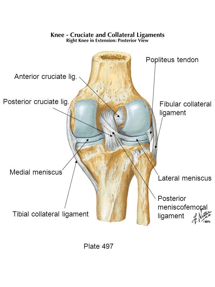 Plate 497 Posterior meniscofemoral ligament Lateral meniscus Fibular collateral ligament Popliteus tendon Anterior cruciate lig. Posterior cruciate li