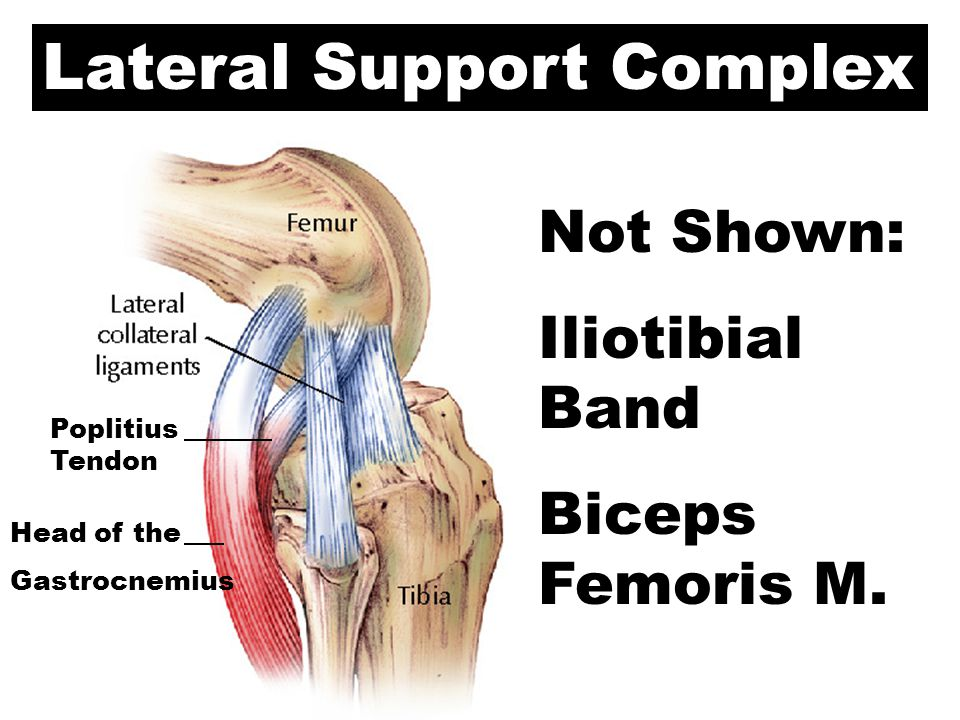 Lateral Support Complex Poplitius Tendon Head of the Gastrocnemius Not Shown: Iliotibial Band Biceps Femoris M.
