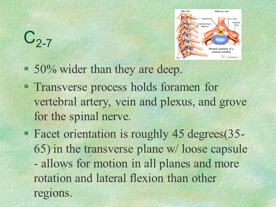 C 2-7 §50% wider than they are deep. §Transverse process holds foramen for vertebral artery, vein and plexus, and grove for the spinal nerve. §Facet o