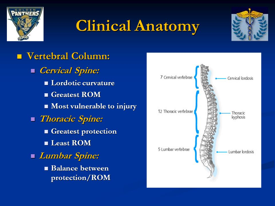 Clinical Anatomy Vertebral Column: Extends from skull to the pelvis 33 total vertebrae: Superiorly: 24 individual vertebrae (separated by intervertebral discs) Inferiorly: 9 fuse to form 2 composite bones Sacrum (5) Coccyx (4)