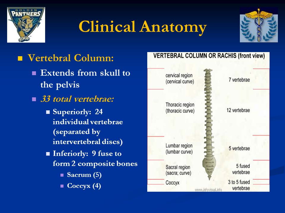 Clinical Anatomy Intervertebral Foramen: Intervertebral Foramen: Space where spinal nerve roots exit the vertebral column Space where spinal nerve roots exit the vertebral column Size variable due to placement, pathology, spinal loading, and posture Size variable due to placement, pathology, spinal loading, and posture Can be occluded by arthritic degenerative changes and space-occupying lesions (tumors, spinal disc herniations) Can be occluded by arthritic degenerative changes and space-occupying lesions (tumors, spinal disc herniations)