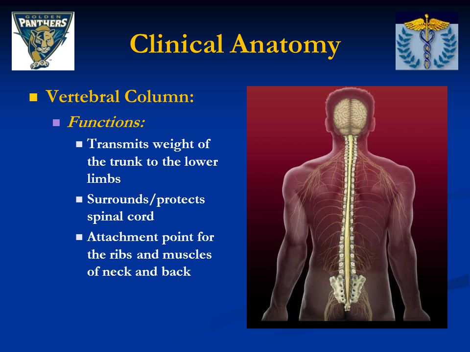 Clinical Anatomy SI Ligaments: Sacrospinous Ligament: Originates from the ischial spine and attaches to the coccyx Sacrospinous Ligament