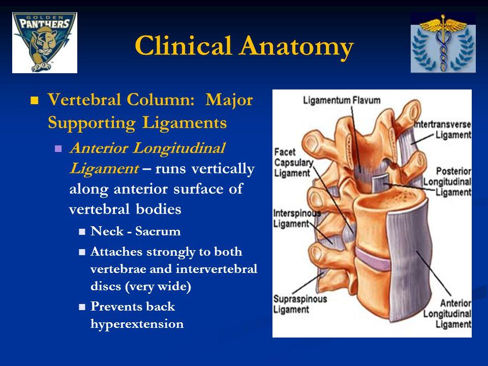 Clinical Anatomy Vertebral Column: Major Supporting Ligaments Posterior Longitudinal Ligament - runs vertically along posterior surfaces of vertebral bodies Narrower, weaker Attaches to intervertebral discs Prevents hyperflexion