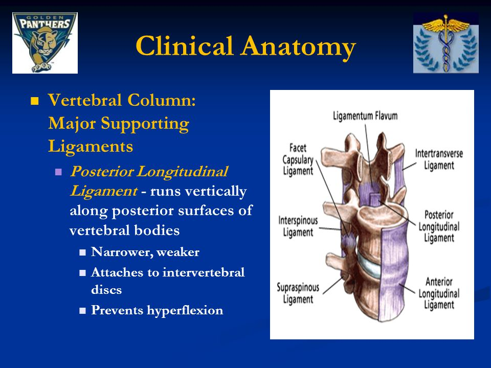 Clinical Anatomy Coccyx: Tailbone Consists of 4 (in some cases 3 or 5) vertebrae fused together Attachment site for muscles of pelvic floor and sometimes portions of gluteus maximus