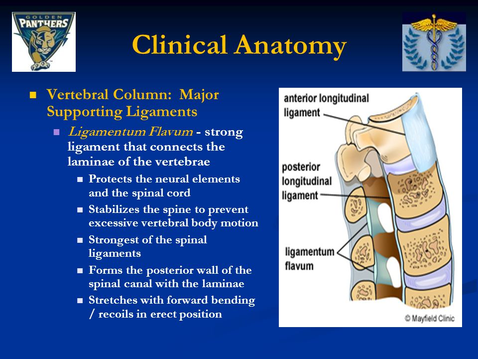 Clinical Anatomy Vertebral Column: Supporting Ligaments Intertransverse Ligament - located between the transverse processes Cervical region: consist of a few irregular, scattered fibers Thoracic region: rounded cords connected with deep muscles of the back Lumbar region: thin and membranous