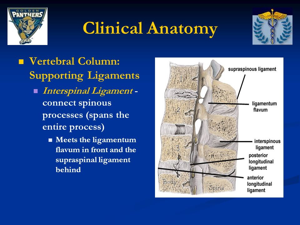 Clinical Anatomy Vertebral Column: Supporting Ligaments Supraspinal Ligament - connects together the apexes of the spinous processes Extends from 7th cervical vertebra to sacrum Strong fibrous cord At points of attachment (tips of the spinous processes) fibrocartilage is developed in the ligament Supraspinal Ligament
