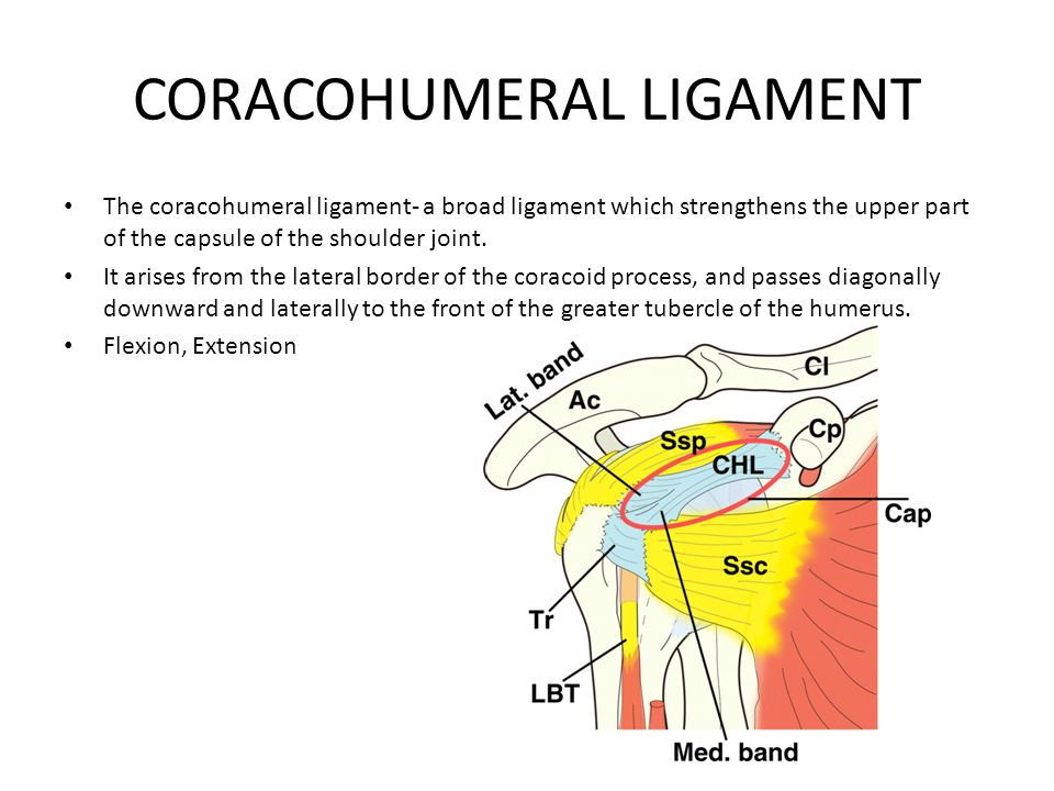 CORACOHUMERAL LIGAMENT The coracohumeral ligament- a broad ligament which strengthens the upper part of the capsule of the shoulder joint. It arises f