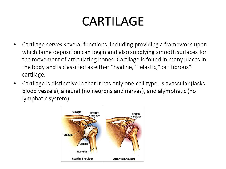 CARTILAGE Cartilage serves several functions, including providing a framework upon which bone deposition can begin and also supplying smooth surfaces