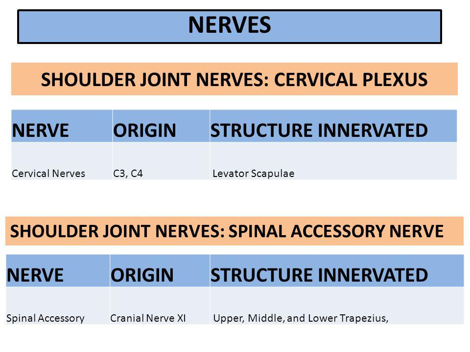 NERVEORIGINSTRUCTURE INNERVATED Cervical NervesC3, C4 Levator Scapulae SHOULDER JOINT NERVES: SPINAL ACCESSORY NERVE NERVEORIGINSTRUCTURE INNERVATED S