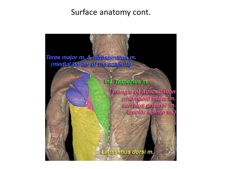 Surface anatomy cont.