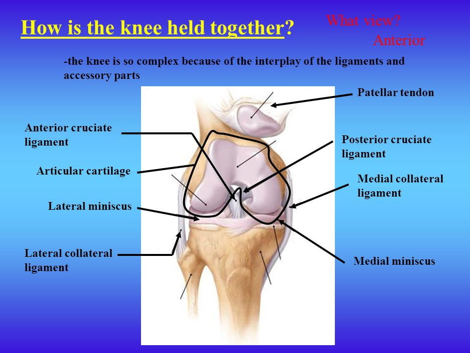 How is the knee held together? -the knee is so complex because of the interplay of the ligaments and accessory parts Lateral collateral ligament Media