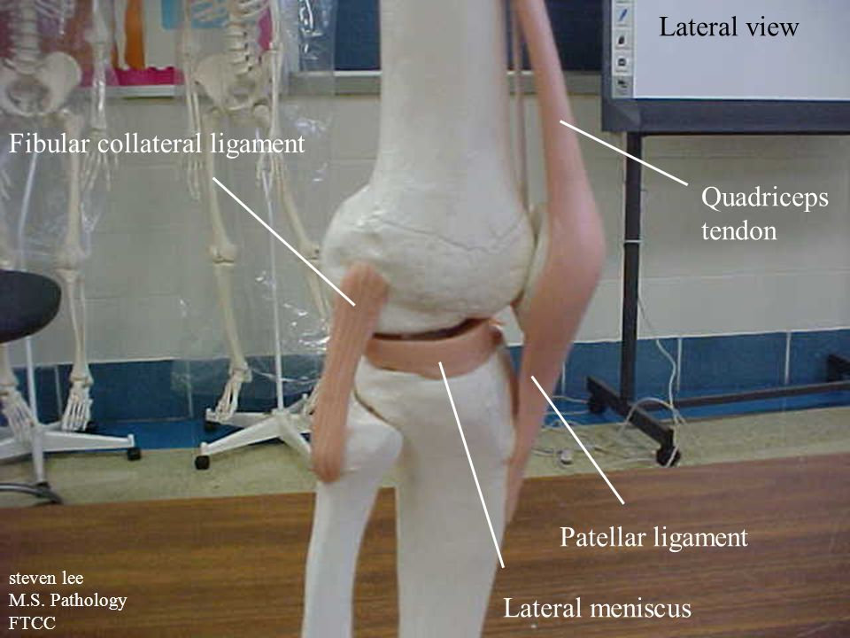 steven lee M.S. Pathology FTCC Fibular collateral ligament Lateral meniscus Patellar ligament Quadriceps tendon Lateral view