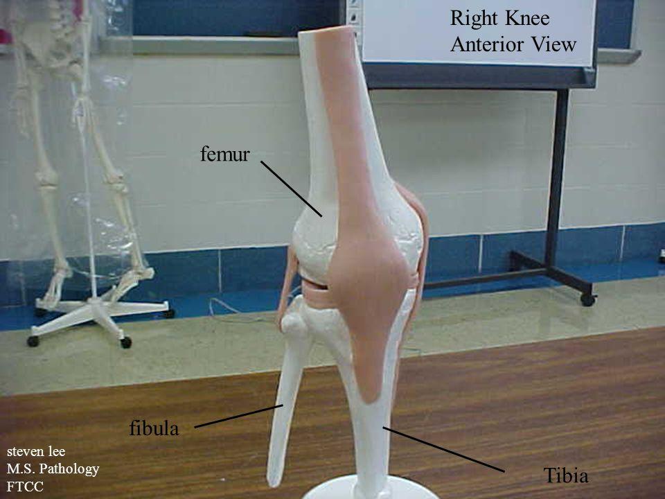 Right Knee Anterior View fibula Tibia femur steven lee M.S. Pathology FTCC