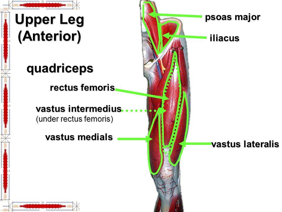Upper Leg (Anterior) psoas major iliacus quadriceps rectus femoris vastus lateralis vastus medials vastus intermedius (under rectus femoris)