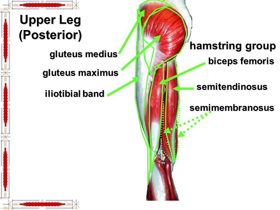 Medial Leg Muscles gastrocnemius soleus calcaneal (Achilles) tendon gracilis adductor longus adductor magnus sartorius