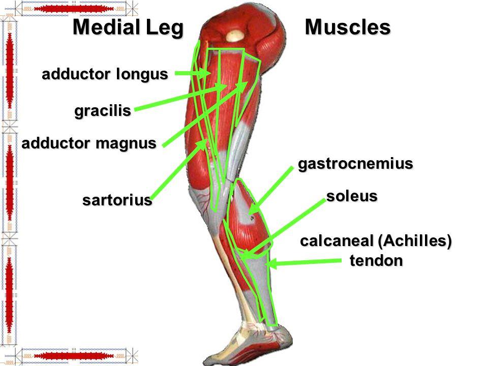 Lower Lateral Leg fibularis (peroneus) longus extensor digitorum tibialis anterior retinaculum