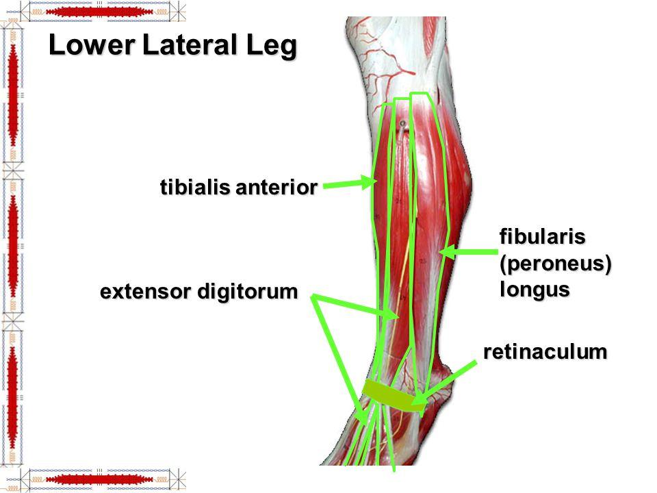 Knee Joint tibial (medial) collateral ligament lateral meniscus medial meniscus quadriceps tendon patellar ligament patella posterior cruciate ligament anterior cruciate ligament fibular (lateral) collateral ligament Anterior Posterior (with tendon & ligament revoved) (with tendon & ligament revoved)