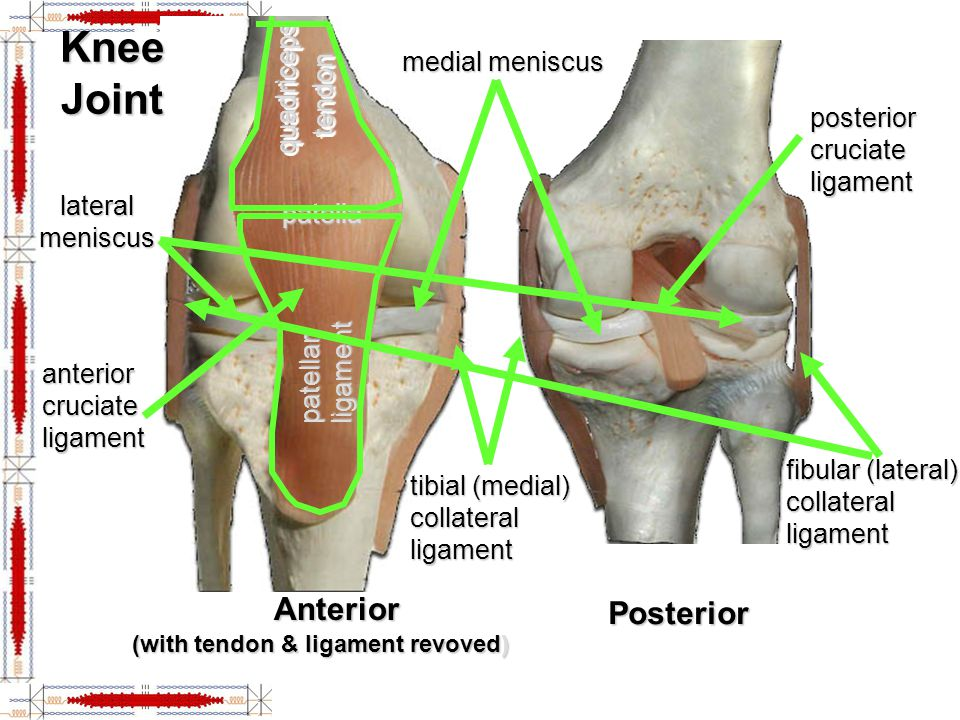 Knee Joint tibial (medial) collateral ligament lateral meniscus medial meniscus quadriceps tendon patellar ligament patella posterior cruciate ligamen