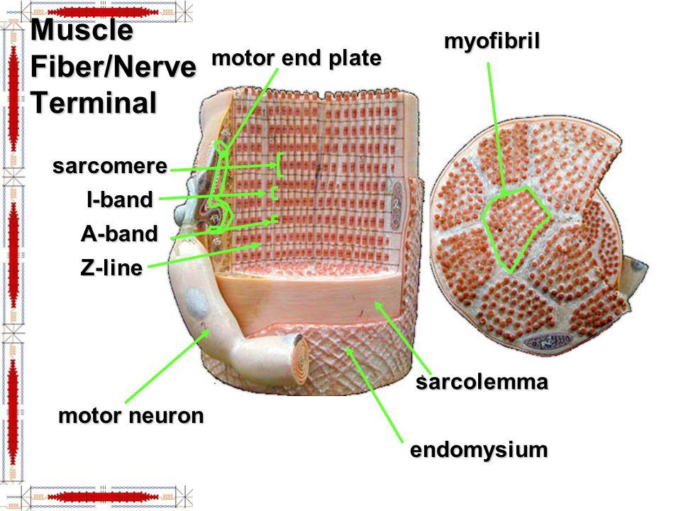 Muscle Fiber/Nerve Terminal motor end plate myofibril sarcomere A-band I-band Z-line endomysium sarcolemma motor neuron