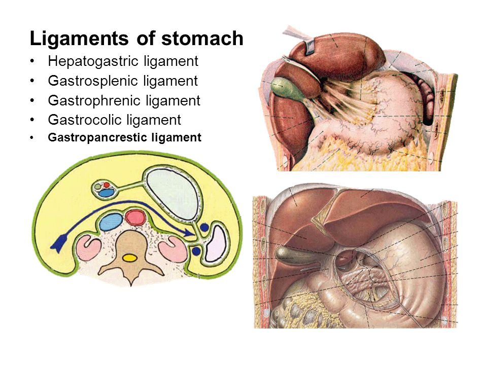 Ligaments of stomach Hepatogastric ligament Gastrosplenic ligament Gastrophrenic ligament Gastrocolic ligament Gastropancrestic ligament