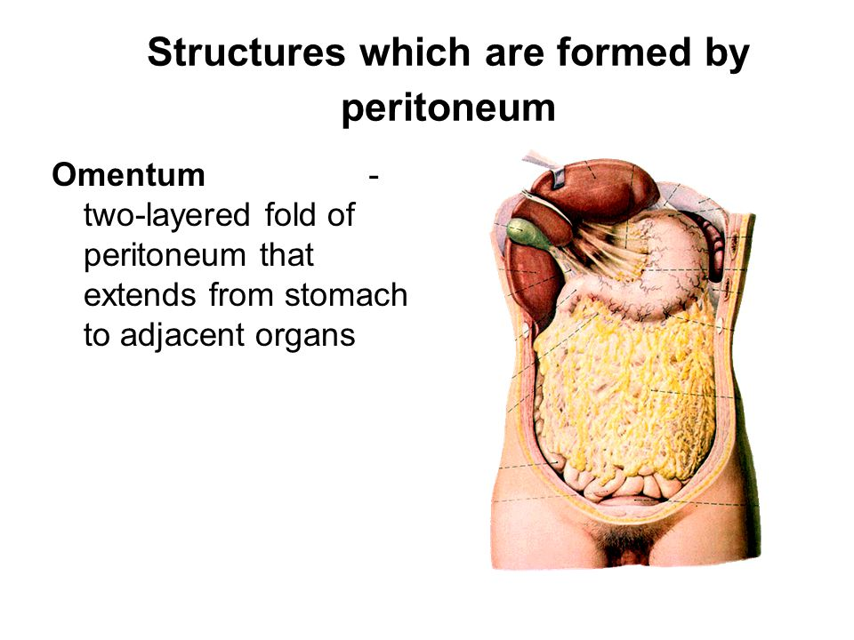 Structures which are formed by peritoneum Omentum - two-layered fold of peritoneum that extends from stomach to adjacent organs