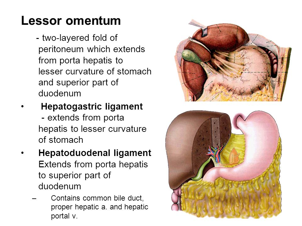 Lessor omentum - two-layered fold of peritoneum which extends from porta hepatis to lesser curvature of stomach and superior part of duodenum Hepatoga