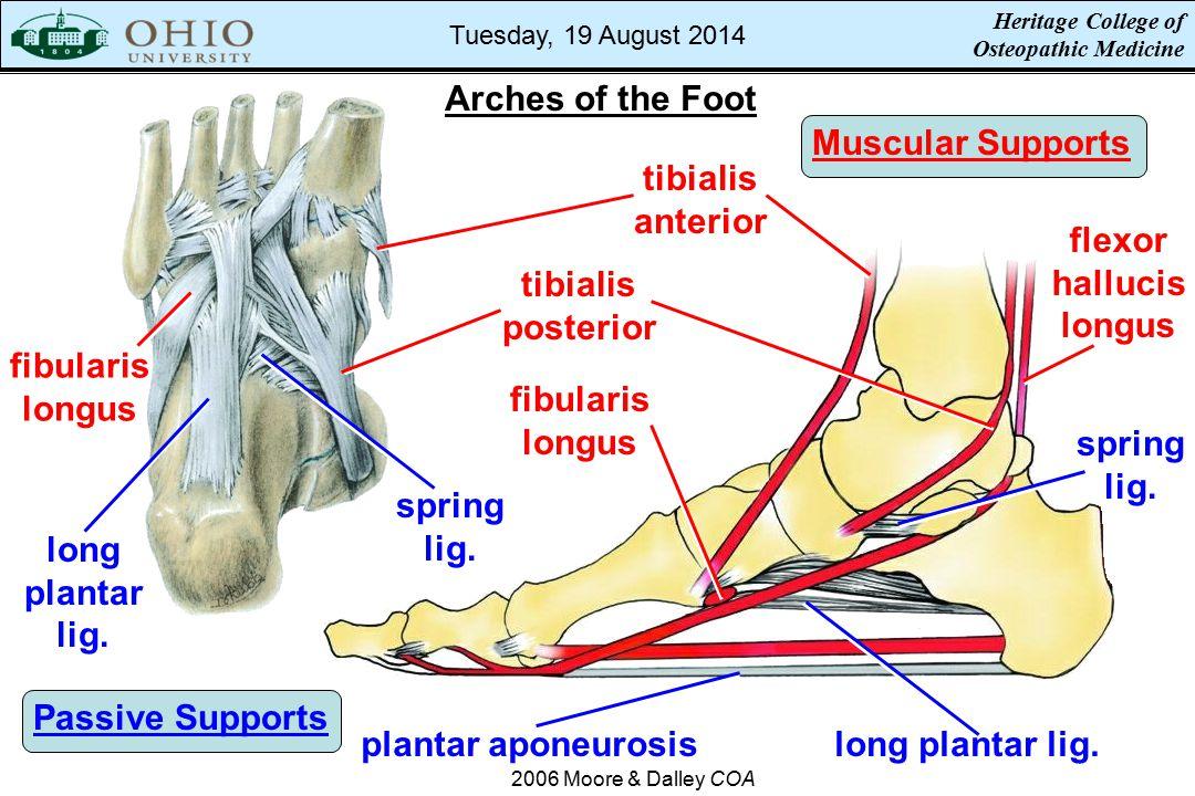 Arches of the Foot Muscular Supports tibialis anterior flexor hallucis longus fibularis longus Passive Supports plantar aponeurosislong plantar lig. s