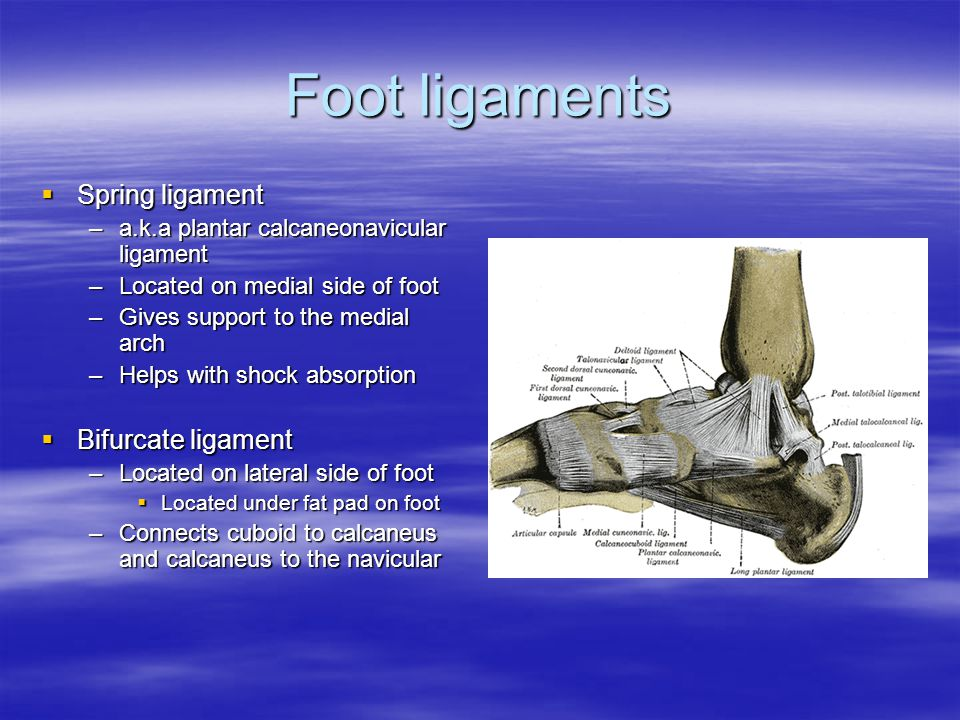 Foot ligaments  Spring ligament –a.k.a plantar calcaneonavicular ligament –Located on medial side of foot –Gives support to the medial arch –Helps with shock absorption  Bifurcate ligament –Located on lateral side of foot  Located under fat pad on foot –Connects cuboid to calcaneus and calcaneus to the navicular