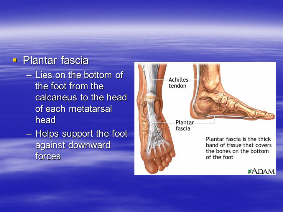 PPPPlantar fascia –L–L–L–Lies on the bottom of the foot from the calcaneus to the head of each metatarsal head –H–H–H–Helps support the foot against downward forces
