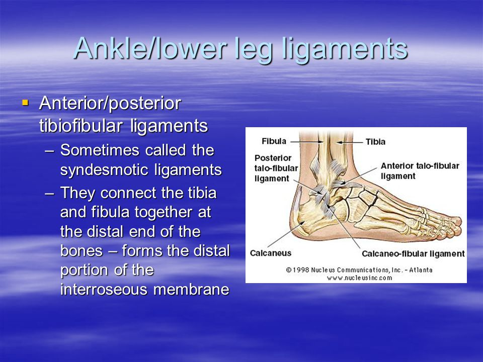 Ankle/lower leg ligaments AAAAnterior/posterior tibiofibular ligaments –S–S–S–Sometimes called the syndesmotic ligaments –T–T–T–They connect the tibia and fibula together at the distal end of the bones – forms the distal portion of the interroseous membrane