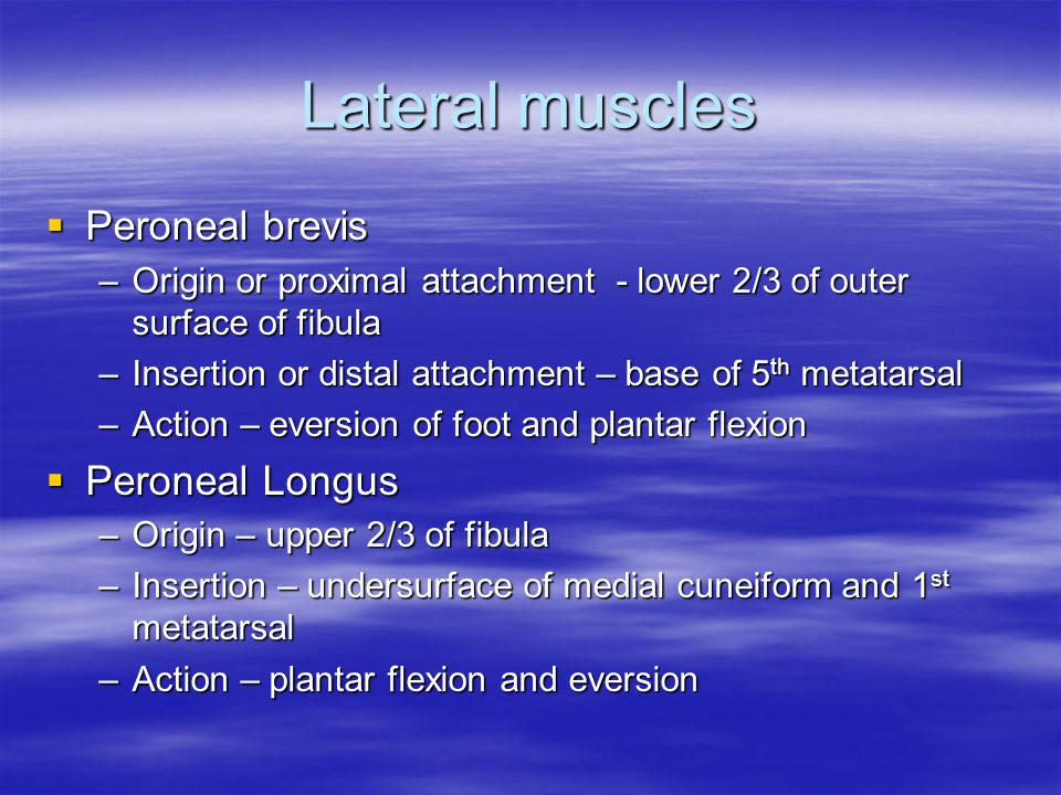 Lateral muscles  Peroneal brevis –Origin or proximal attachment - lower 2/3 of outer surface of fibula –Insertion or distal attachment – base of 5 th metatarsal –Action – eversion of foot and plantar flexion  Peroneal Longus –Origin – upper 2/3 of fibula –Insertion – undersurface of medial cuneiform and 1 st metatarsal –Action – plantar flexion and eversion