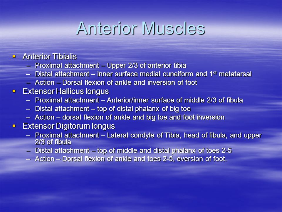 Anterior Muscles  Anterior Tibialis –Proximal attachment – Upper 2/3 of anterior tibia –Distal attachment – inner surface medial cuneiform and 1 st metatarsal –Action – Dorsal flexion of ankle and inversion of foot  Extensor Hallicus longus –Proximal attachment – Anterior/inner surface of middle 2/3 of fibula –Distal attachment – top of distal phalanx of big toe –Action – dorsal flexion of ankle and big toe and foot inversion  Extensor Digitorum longus –Proximal attachment – Lateral condyle of Tibia, head of fibula, and upper 2/3 of fibula –Distal attachment – top of middle and distal phalanx of toes 2-5 –Action – Dorsal flexion of ankle and toes 2-5, eversion of foot.