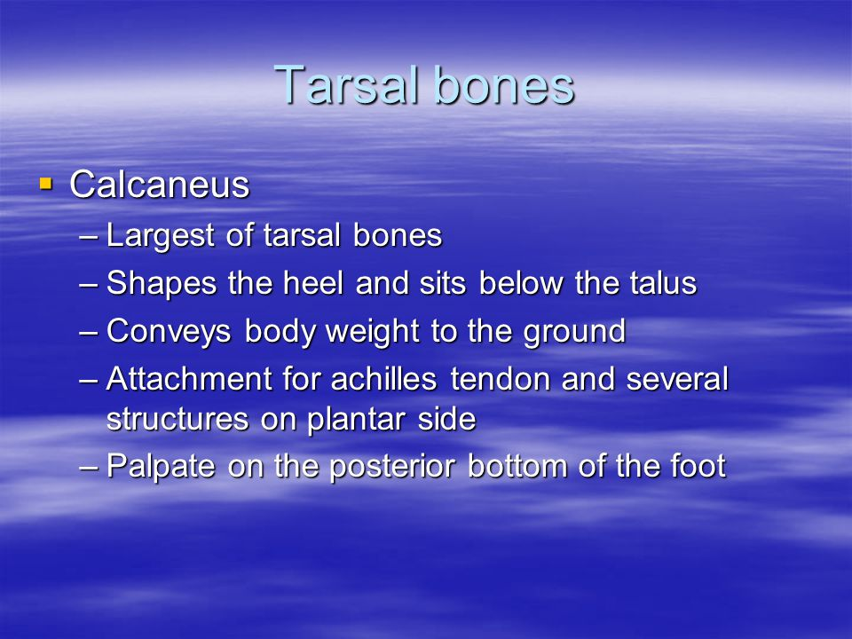Tarsal bones  Calcaneus –Largest of tarsal bones –Shapes the heel and sits below the talus –Conveys body weight to the ground –Attachment for achille