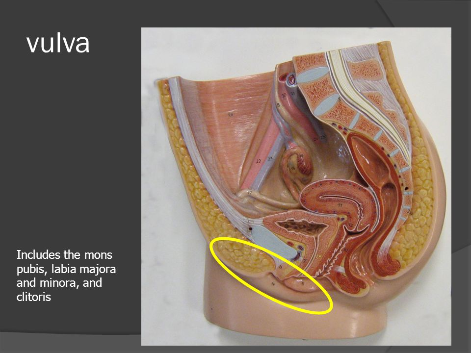 vulva Includes the mons pubis, labia majora and minora, and clitoris