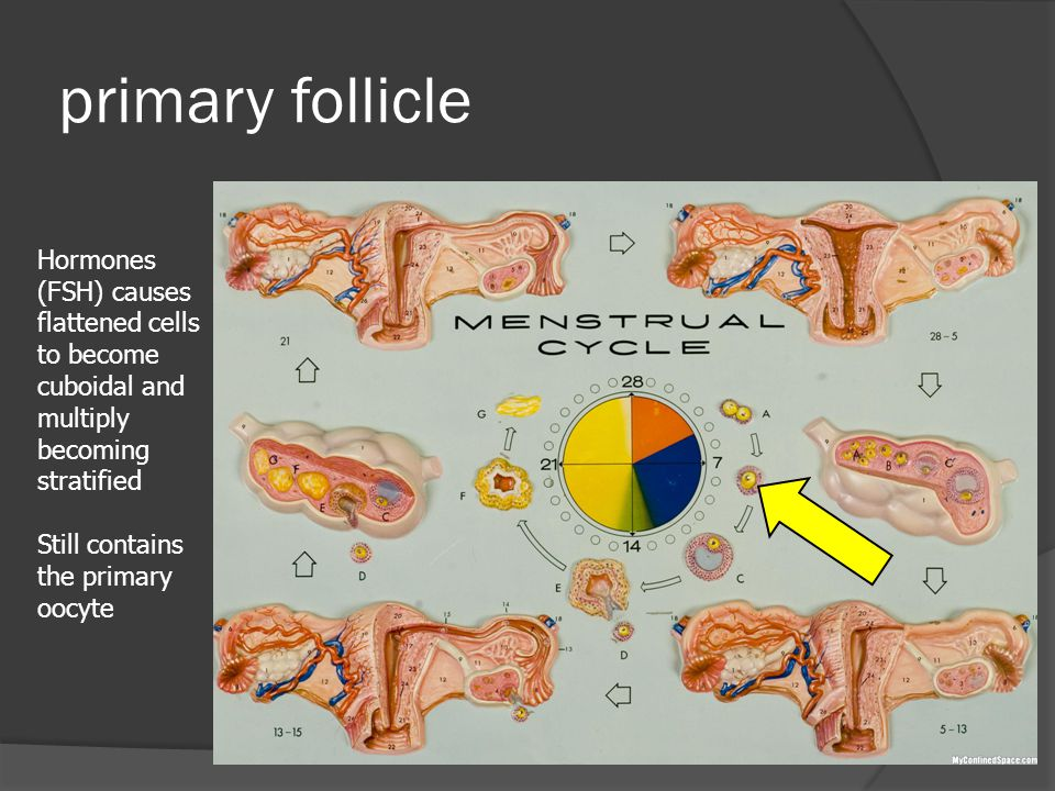 primary follicle Hormones (FSH) causes flattened cells to become cuboidal and multiply becoming stratified Still contains the primary oocyte