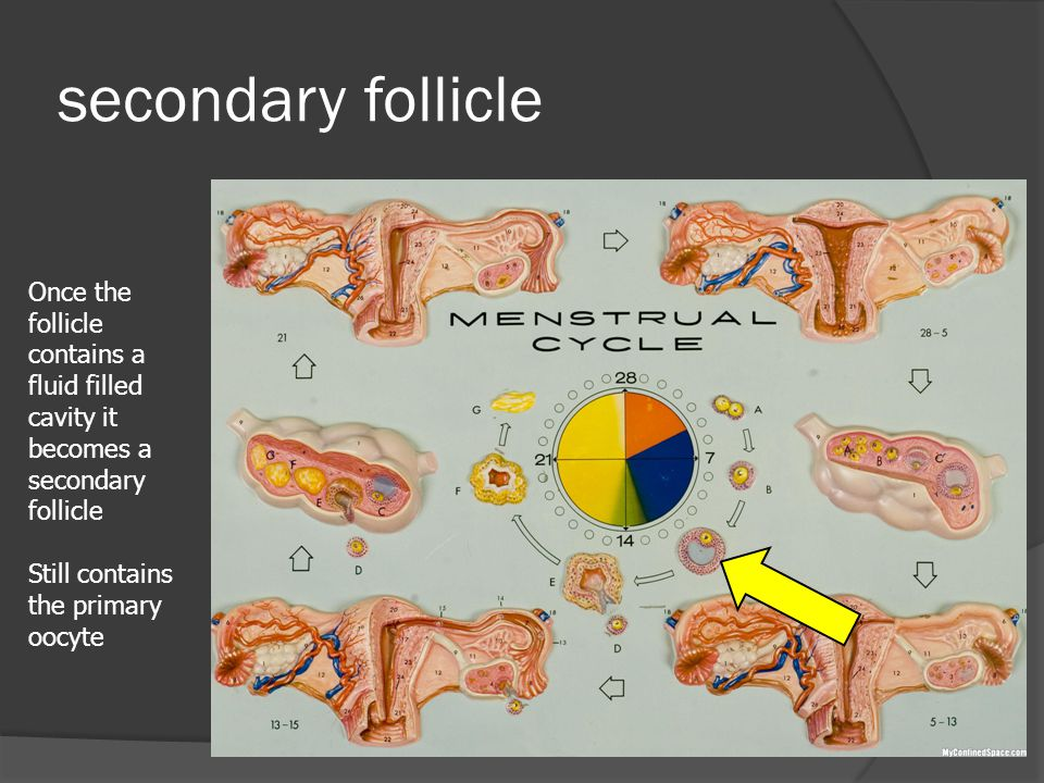 secondary follicle Once the follicle contains a fluid filled cavity it becomes a secondary follicle Still contains the primary oocyte