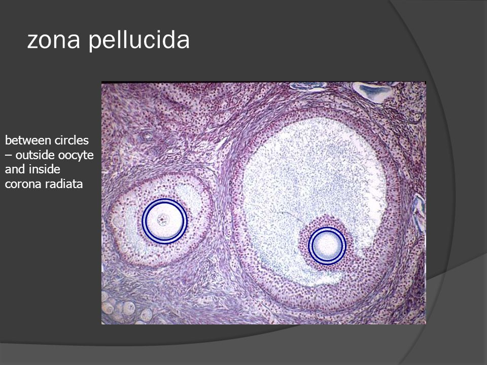 zona pellucida between circles – outside oocyte and inside corona radiata