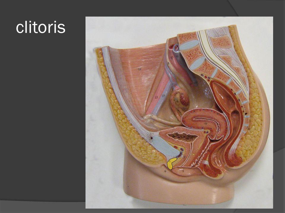 clitoris