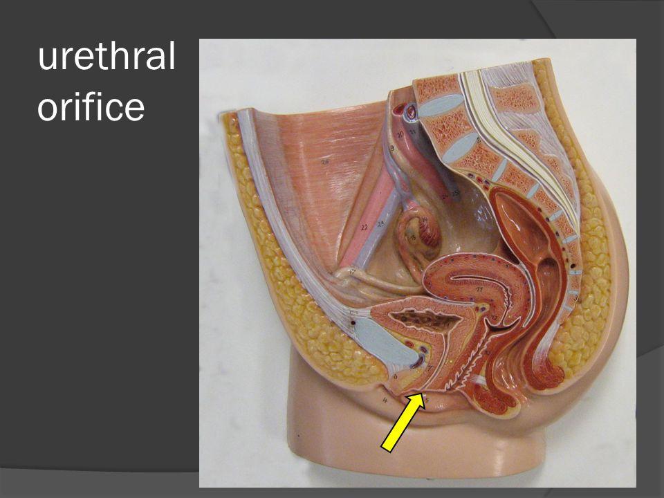 urethral orifice