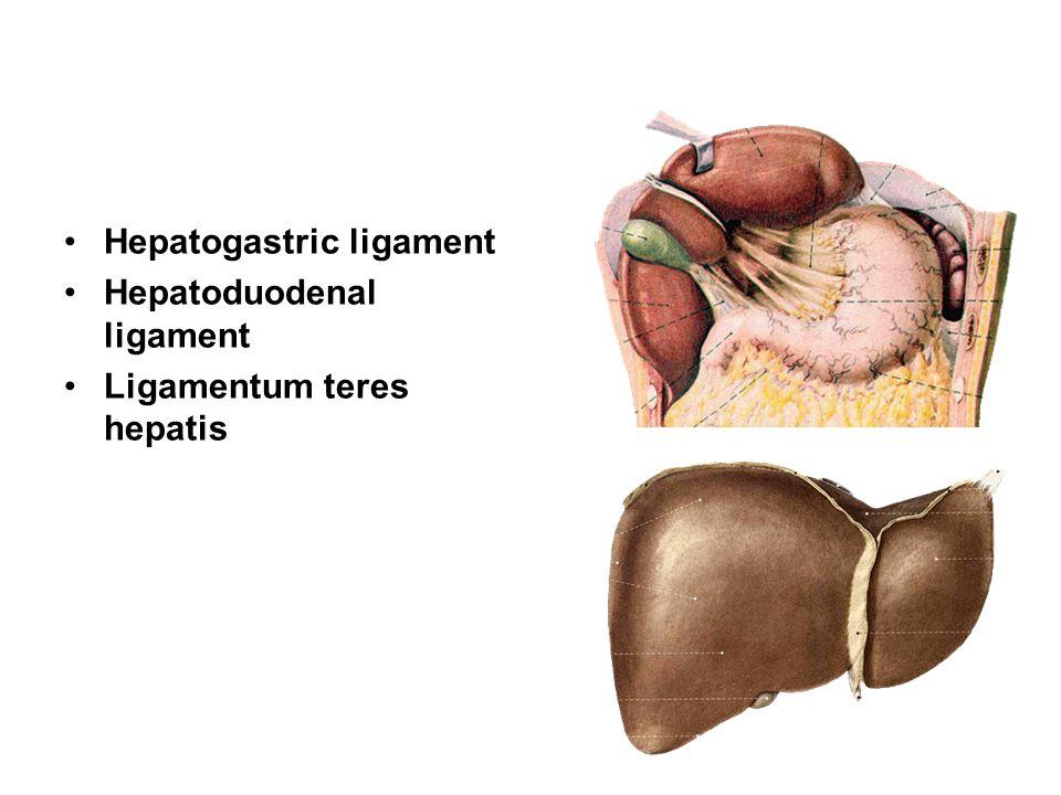 Hepatogastric ligament Hepatoduodenal ligament Ligamentum teres hepatis