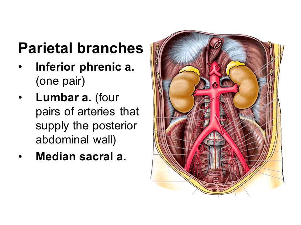 Parietal branches Inferior phrenic a.(one pair) Lumbar a.