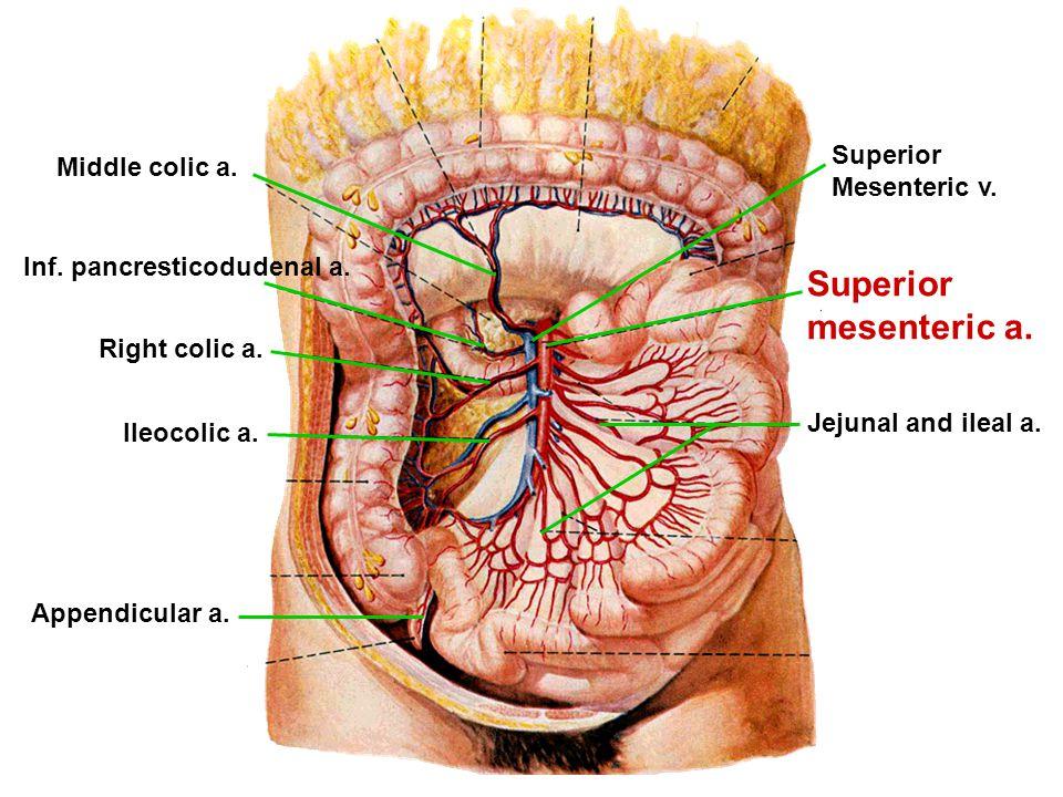 Superior mesenteric a. Inf. pancresticodudenal a. Jejunal and ileal a. Ileocolic a. Appendicular a. Right colic a. Middle colic a. Superior Mesenteric